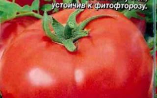 Снежный барс томат