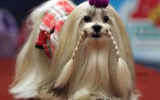Порода собак из тибета
