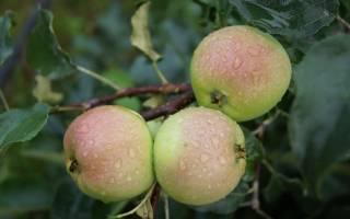 Яблони для урала