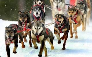 Ездовые собаки породы