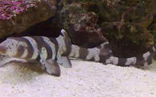 Аквариумные акулы пресноводные