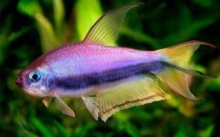 Рыбки аквариумные тетра