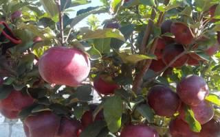 Кубанское багряное сорт яблок