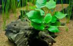 Анубиас растение в аквариум