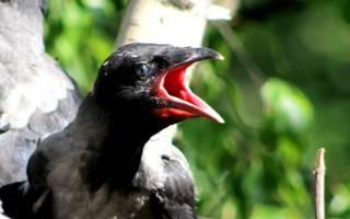 Как поймать птенца ворона