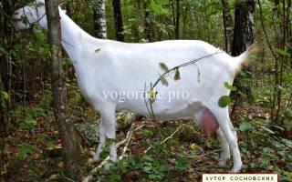 Как повысить удои у козы