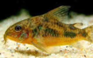 Сколько живут аквариумные сомики