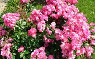 Роза сорт ангела