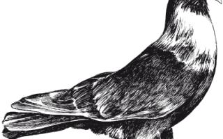 Краснодарские голуби