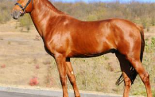 Рыжая лошадиная масть