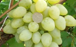 Сорт винограда тайфи