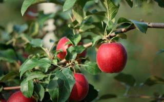 Сорт яблони моди
