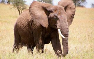 Слоны продолжительность жизни