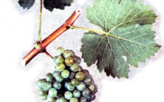 Совиньон сорт винограда
