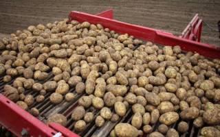 Картофель янка отзывы