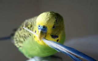 У попугая выпадают перья