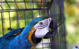 Как выпустить попугая из клетки