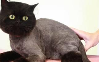 Можно ли стричь котов британцев?