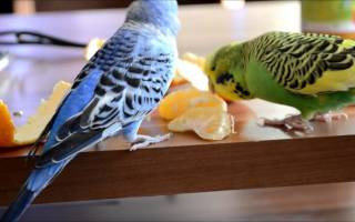 Можно ли попугаям апельсины?
