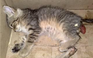 Выпадение кишки у котенка