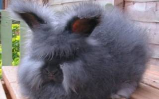 Самый маленький кролик