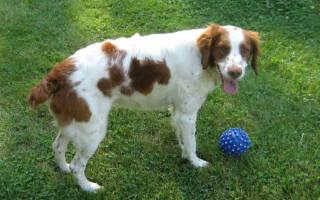Бретонский эпаньоль собака