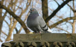 Все про голубей
