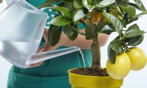 Как поливать лимон?