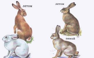 Чем отличается заяц беляк от русака?