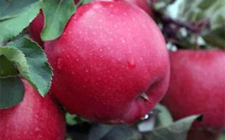 Сорт яблок хани крисп фото и описание