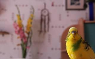 У попугая понос