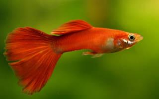 Красные аквариумные рыбки