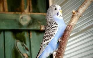 Что любит попугай
