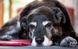 Спондилез у собак лечение