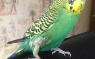 Попугай повредил крыло, что делать?