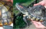 Красноухая черепаха мягкий панцирь
