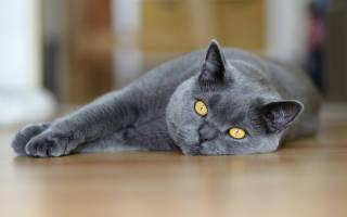 Как воспитывать британского кота