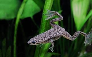 Аквариумные лягушки содержание кормление уход