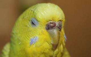 Восковица волнистого попугая