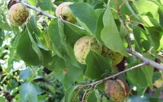 Болезни абрикоса описание с фотографиями
