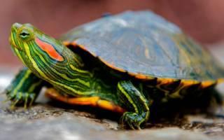 С кем уживаются красноухие черепахи