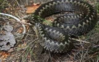 Как размножаются змеи гадюки?