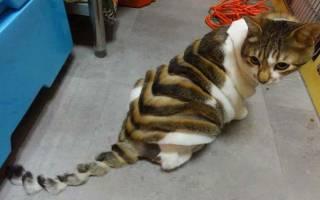 Шотландская кошка линяет, что делать?