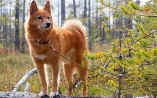 Собаки похожие на лис