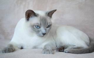 Порода кошек тонкинез