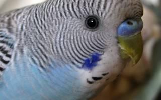 Возраст попугая волнистого
