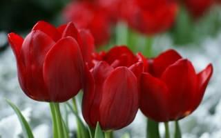 Тюльпаны триумф сорта