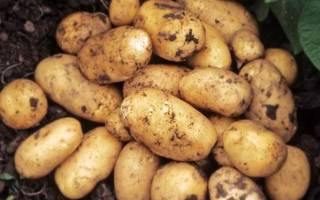 Сорт картофеля джувел характеристика