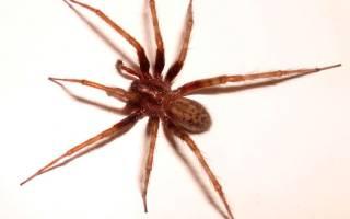Сколько у пауков лапок