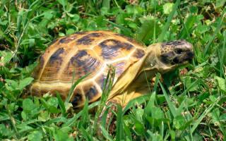 Все о среднеазиатской черепахе